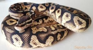 Pastel Calico Yellowbelly male