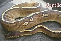 Super blackhead mojave het red axanthic red and ringer gene
