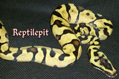 Super Enchi Pastel het Daddy