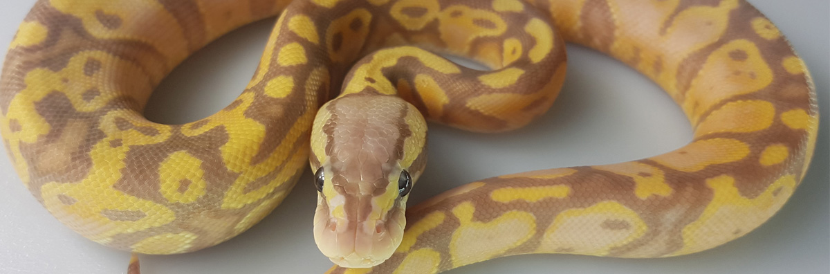Coral Glow Pastel Yellow Belly Ballpython